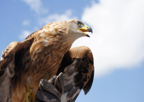 Close up of an eagle