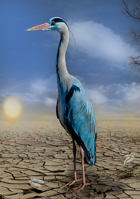 Blue crane standing on dry earth