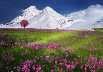 Pink flowers in field with snowy mountains in the background