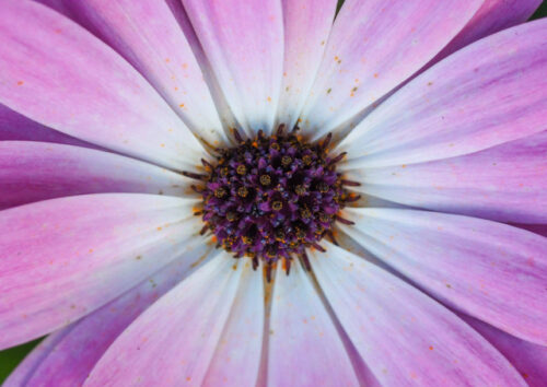 Close up of a pink chrysanthemum flower