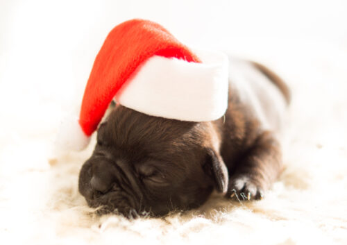 Puppy wearing Christmas hat