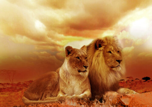 Male and female lion sitting down with a sunset background