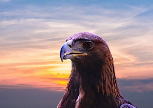 Eagle's head with sunset background