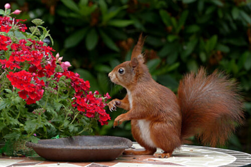 Red squirrel on table near flowering shrub