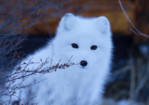 Snow fox sitting in foliage