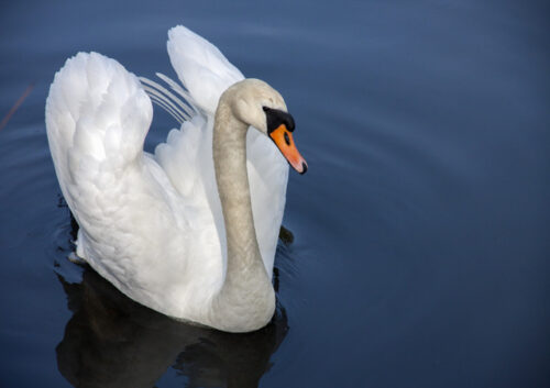 Swan swimming on water