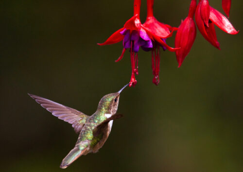 Hummingbird hovering near flower