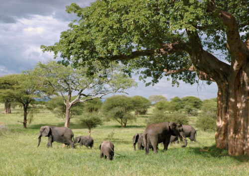 Elephants under a tree