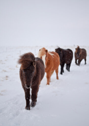 Ponies walking on snow covered ground
