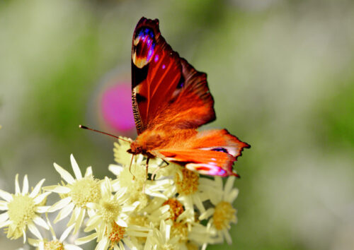 Peacock butterfly on white flowers