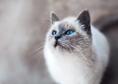 White and grey cat with blue eyes