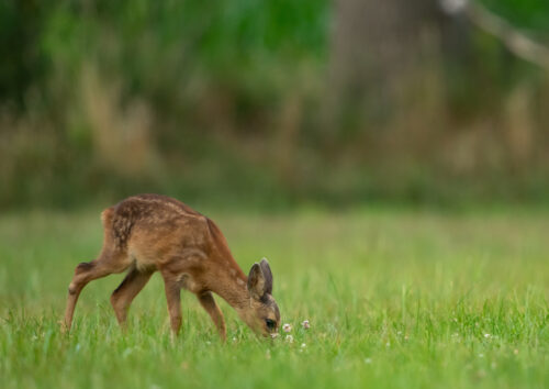 Young fawn grazing
