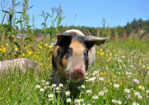 Spotted pig in meadow