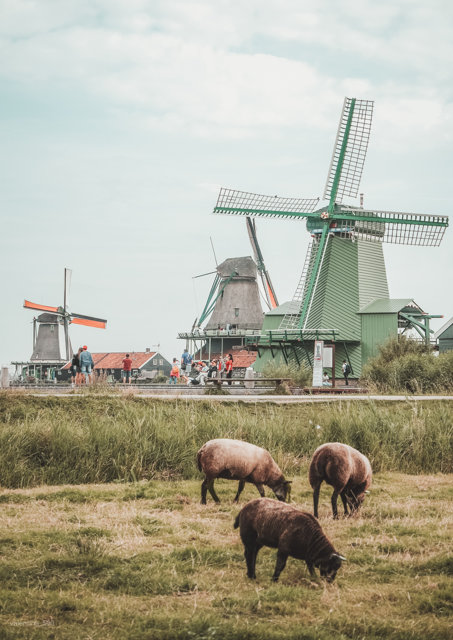 Sheep grazing with windmills in background