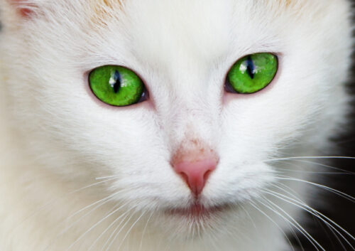 Close up of white green eyed cat
