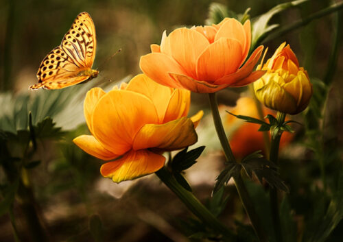 Pearl bordered fritillary butterfly flying near orange flowers