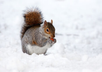 Red squirrel eating in the snow