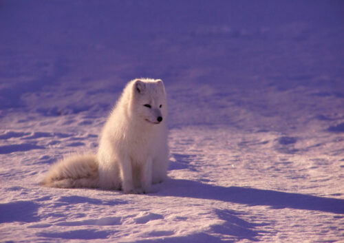 White husky sitting on snow