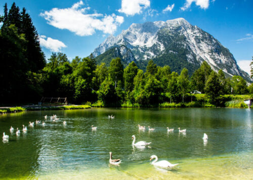 Swans swimming in a lake