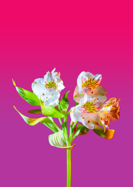 Irises with pink background